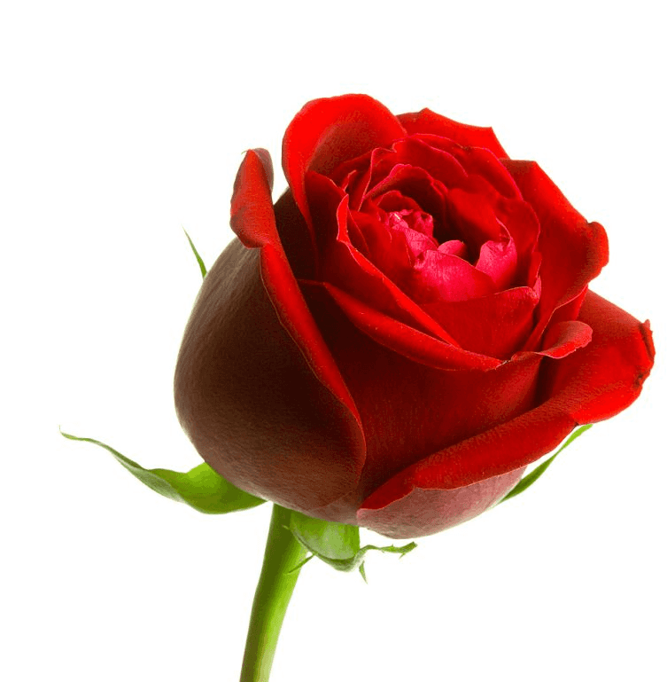 rose-5_edited.jpg