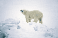 polar_bear_climate_medium,0.jpg